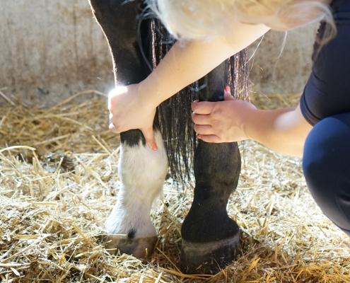 stocking up swollen leg thick leg advice vet veterinarian horses