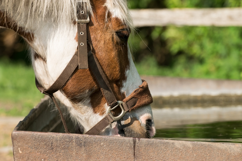 horse drink urinate often too much medical advice vet veterinarian tips