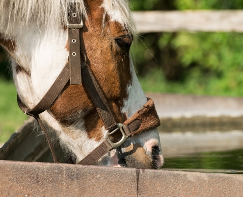horse drink urinate often too much medical advice vet veterinarian tips